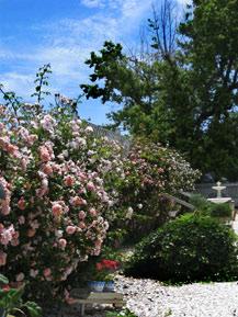 miss-mollys-garden-roses