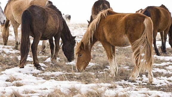 Visiting The Wild Ponies of Assateague Island in Winter
