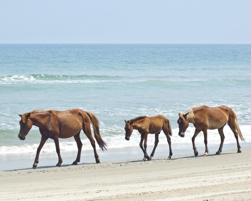 Wild ponies on the beach at Chincoteague Island
