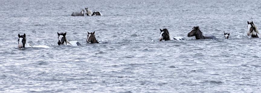 Chincoteague Island Pony Swim 2015