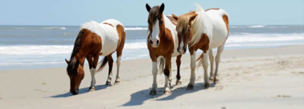 chincoteague-ponies