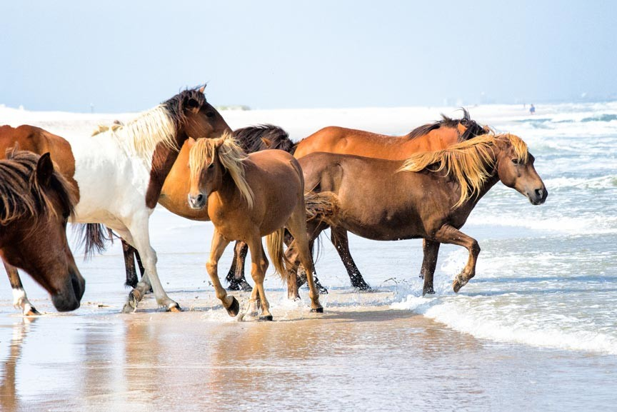 Chincoteague Pony Swim 2019