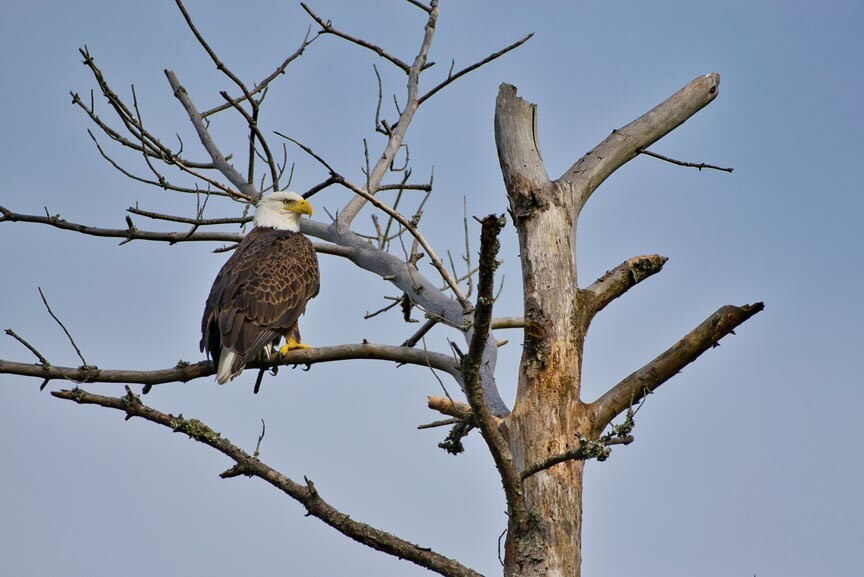 bald eagle in Chincoteague National Wildlife Refuge