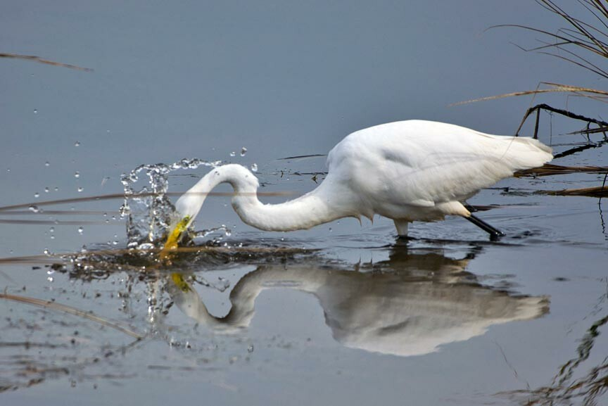 snowy egret in Chincoteague National Wildlife Refuge