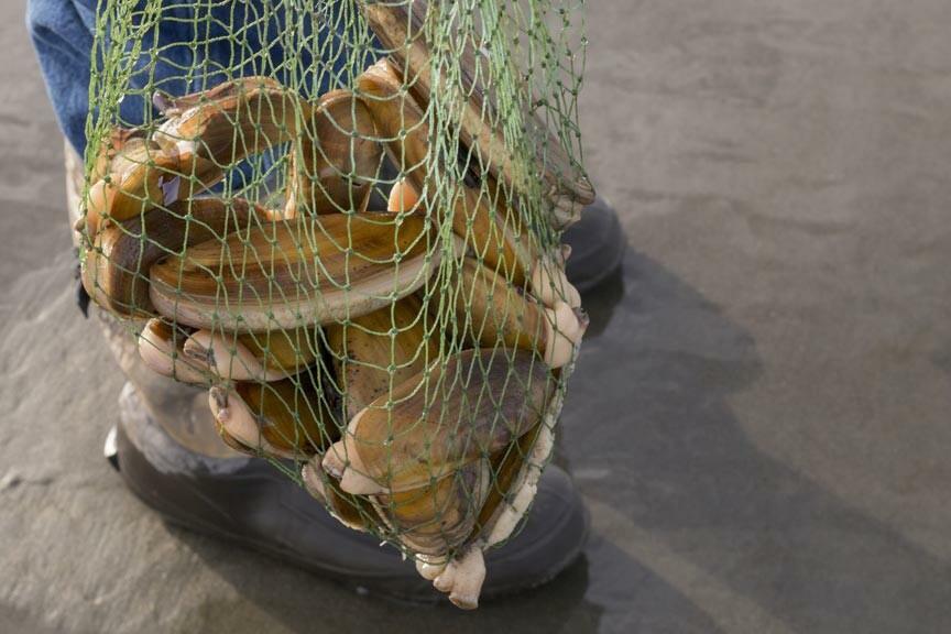 collected razor clams Chincoteague