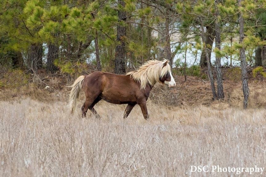 Chincoteague Pony Swim 2021